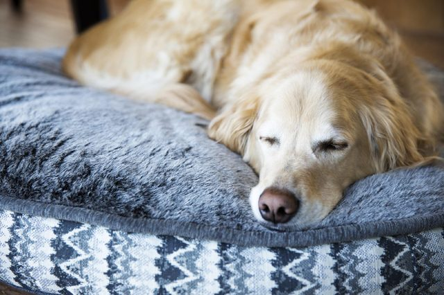 Male Golden Retriever sleeping on his dog bed