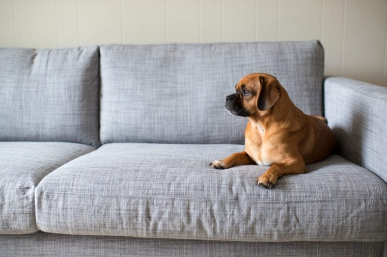 Cute Small Dog Looking Outside While Laying on Grey Sofa