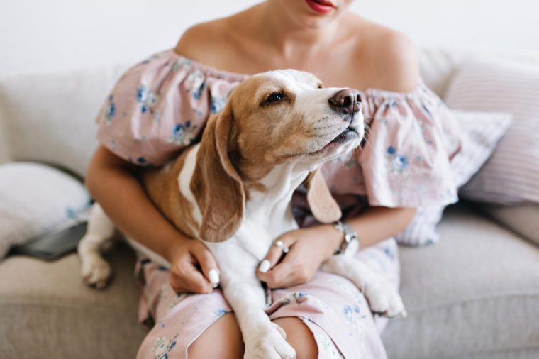 Charming beagle dog sniffs something in front of him while lying on girl's knees. Young woman in beautiful pink dress and silver accessories holding her curious puppy sitting on sofa.