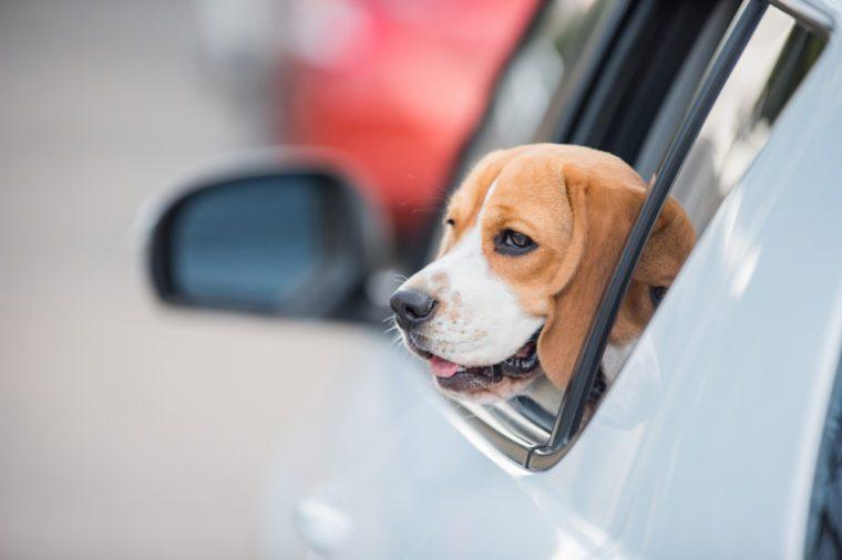 beagle dog, beagle dog on car windows