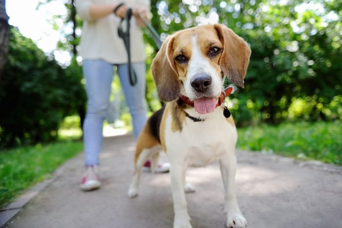 Close up photo of young woman walking with Beagle dog in the summer park. Obedient pet with his owner