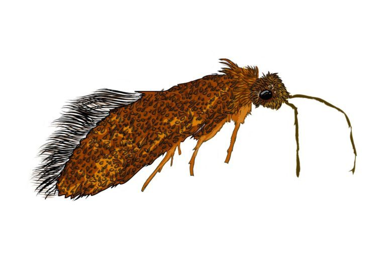 Enigma-moth