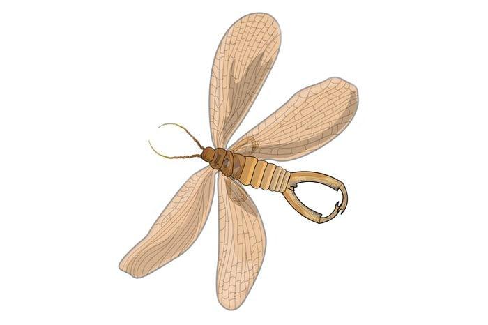Eyelash-winged-wasp