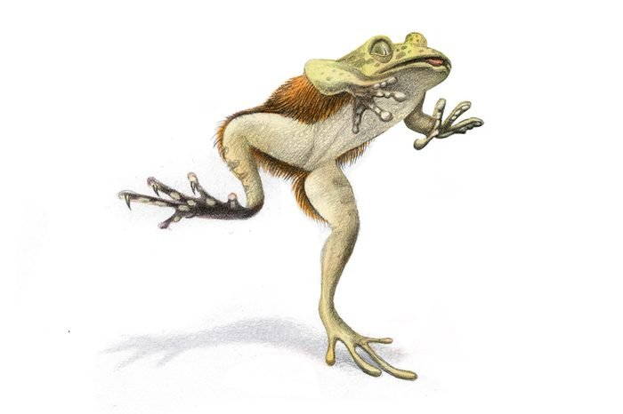 Hairy-frog