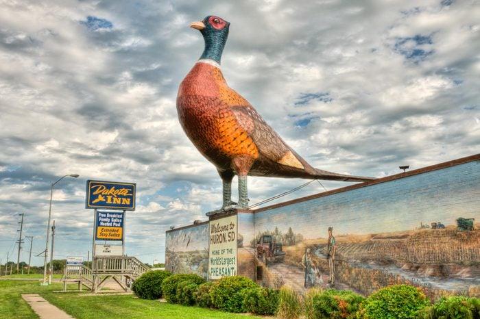 South Dakota Phesant
