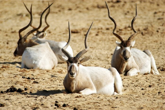 Heard of Addax rest on the ground in the desert.