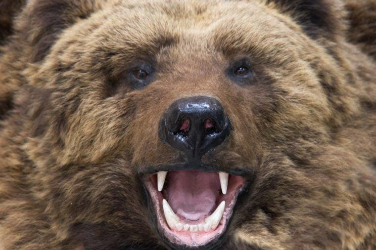 Enraged brown bear closeup