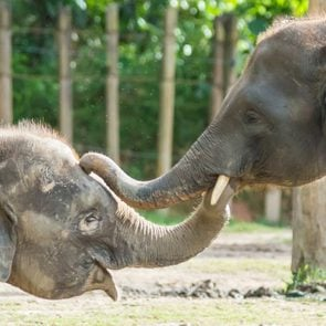 The Borneo Pigmy Elephant is the largest land mamal in Borneo. It can grow up to 2 - 2.5 m in height and weight up to 5400kg