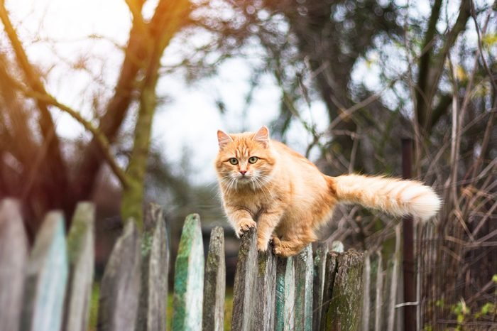 Fluffy ginger tabby cat walking on old wooden fence