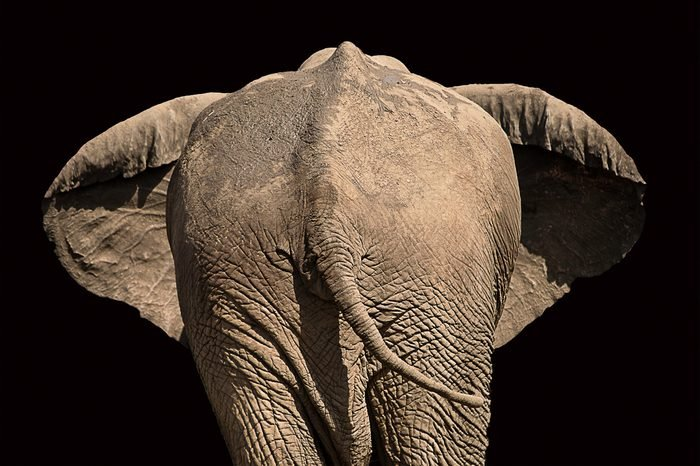view of the rear of an elephant with ears out and black background