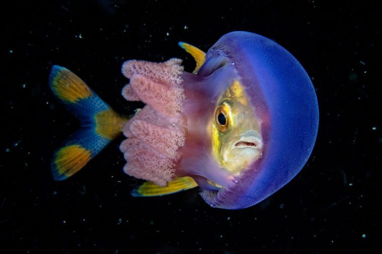 jellyfish with a fish