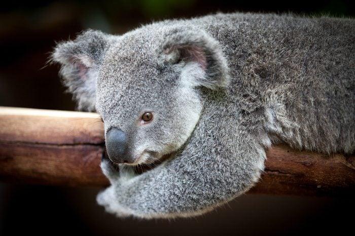 Koala bear holding on to a branch