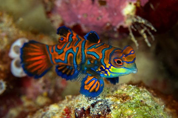 Mandarinfish or Mandarin dragonet ( Synchiropus splendidus ) is close-up shot , it very small tropical fish vivid color , Sipadan island Borneo . Celebes sea, malaysia