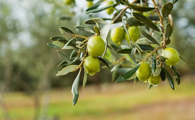 Green Olives Tree