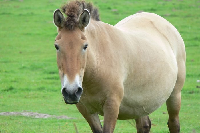 The Przewalski horse, also Takhi, Asian wild horse or Mongolian wild horse called, is the only subspecies of the wild horse which has survived in her wild form till this day.