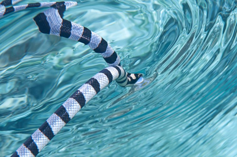 Faint-banded sea snake or belcher's sea snake ( Hydrophis belcheri )swimming to the water surface for breathing fresh air, Bali, Indonesia