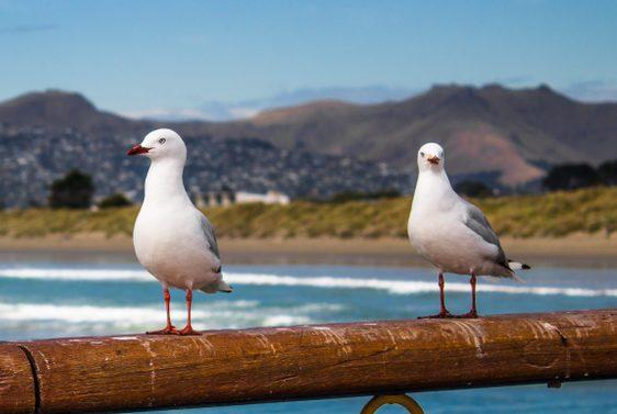 Seagulls standing on New Brighton pier, Christchurch, New Zealand