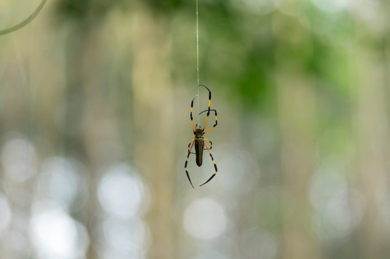 Nephila Pilipes Spider are rare in Thailand. The body has a large human face.