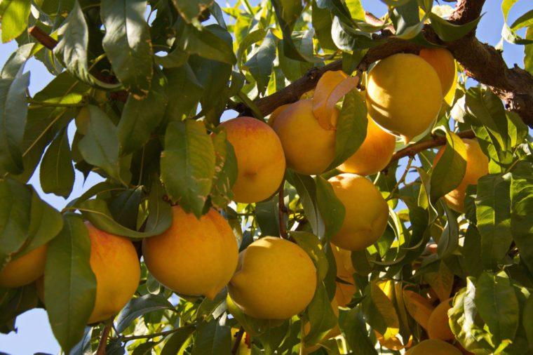 Peach plantation in California in the USA