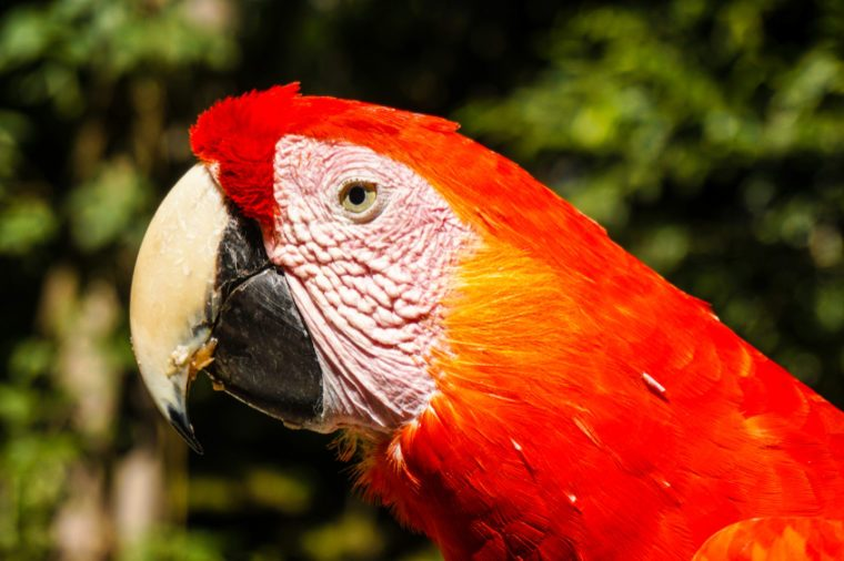 Parrot / Macaw bird in Macaw Mountain, Honduras.