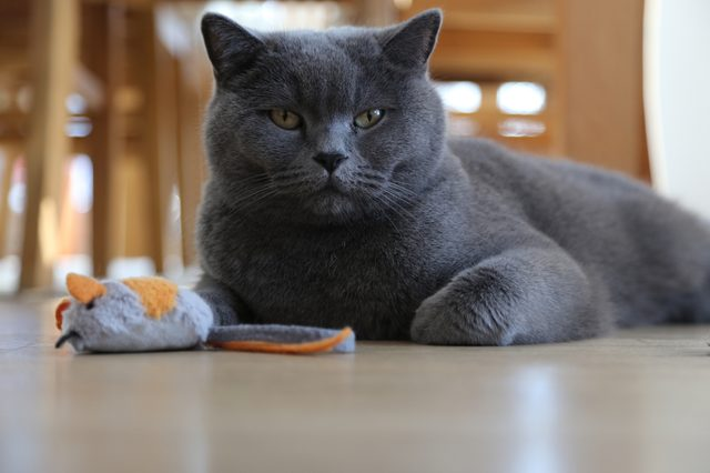British shorthair cat lying on living room fllor with toy mouse, low angle view