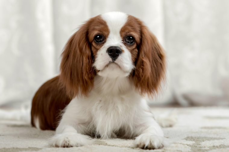 sad pure-bred dog, puppy Cavalier King Charles Spaniel, lie, close up muzzle