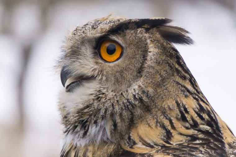 Eurasian Eagle owl with open mouth