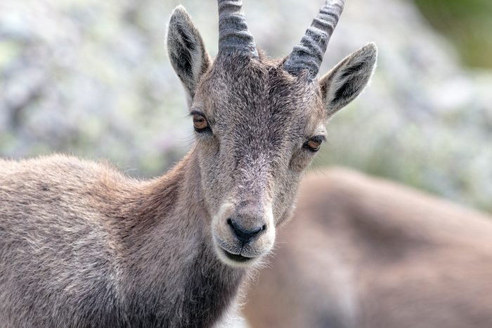 Alpine ibex - Capra ibexalso known as the steinbock or bouquetin, is a species of wild goat that lives in the mountains of the European Alps.