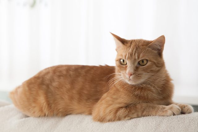 Red cat sitting on a light couch