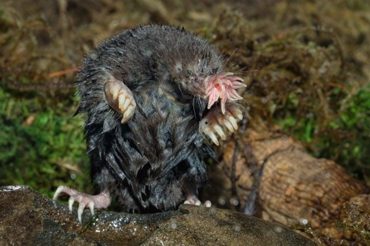 Star nosed mole Agnieszka Bacal.