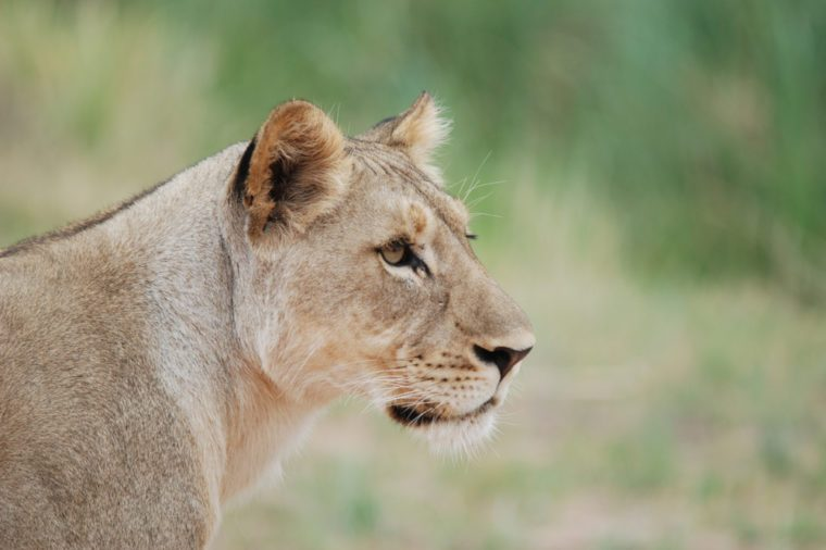 young lioness closer