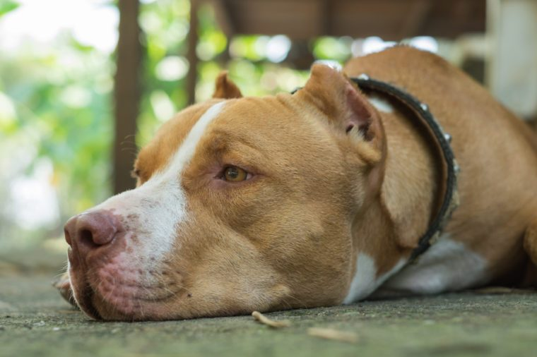 Dog breeds american pit bull terrier sleep on the floors.