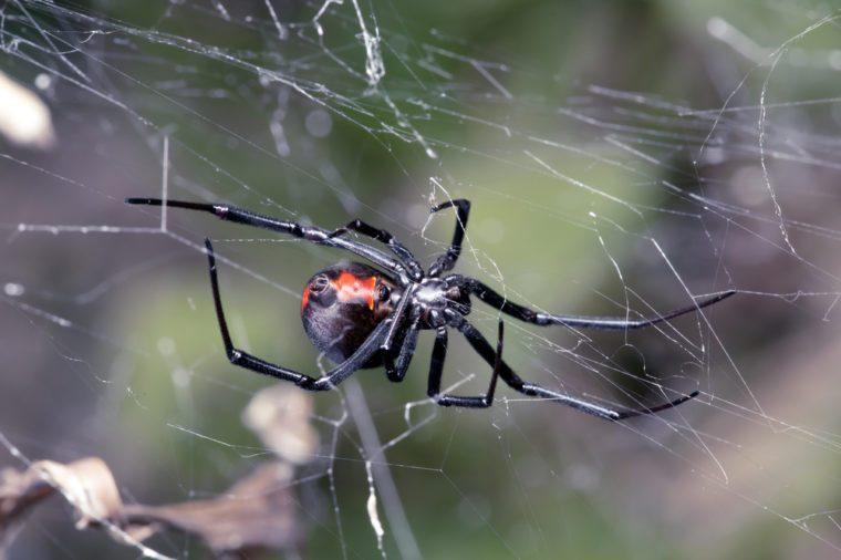 Spider, Australian Red-back, spider at rest on web with leaf litter