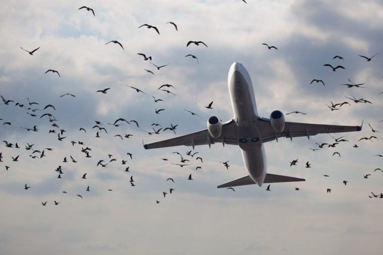flock of birds and aircraft