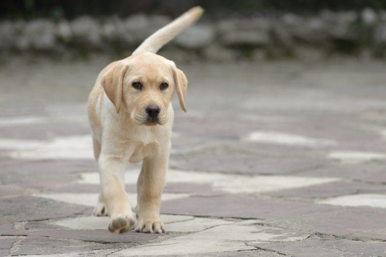 Pure breed male labrador puppy