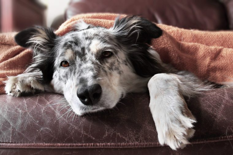 Border collie / australian shepherd dog on couch under blanket looking sad bored lonely sick