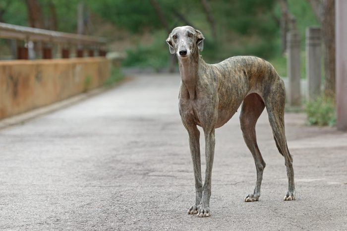 Portrait of an adult Spanish Greyhound dog