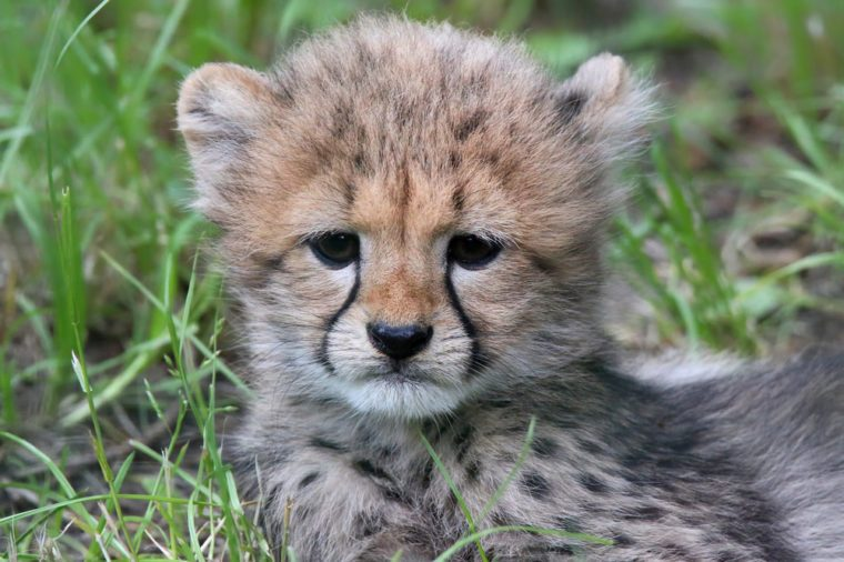 Close-up view of a Cheetah cub 04