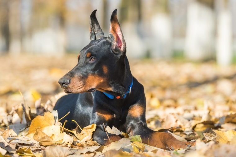Doberman Pinscher portrait in autumn