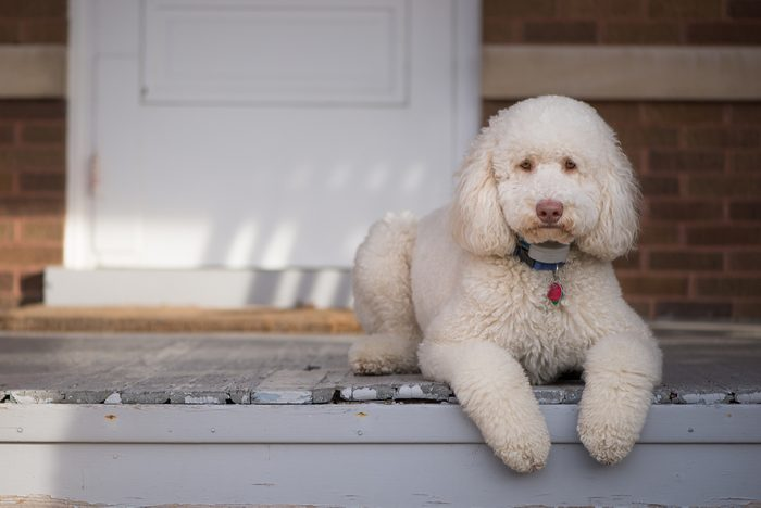 Labradoodle laying on front porch