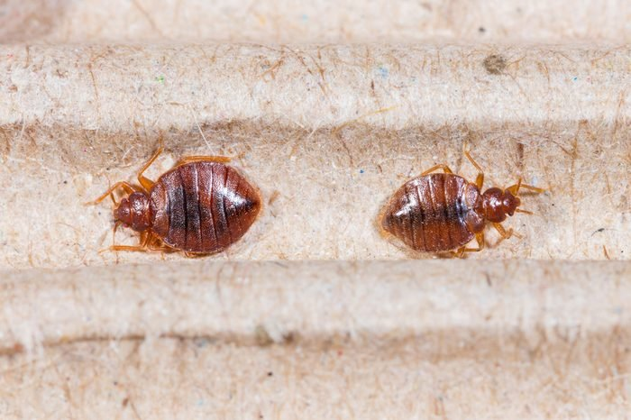 Close up adult cimex hemipterus on corrugated recycled paper, bedbug, blood sucker
