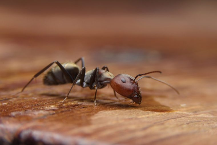 Black ants on woods table