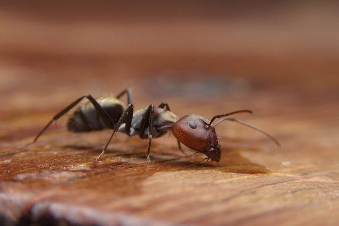Black ants on woods table