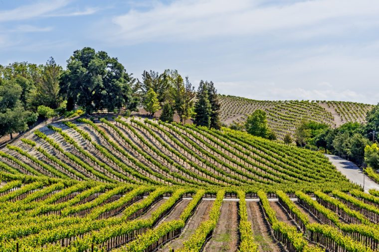 New vineyards and wineries on the scenic hills of the California Central Coast where vineyards grow a variety of fine grapes for wine production, near Paso Robles, CA. on scenic Highway 46.
