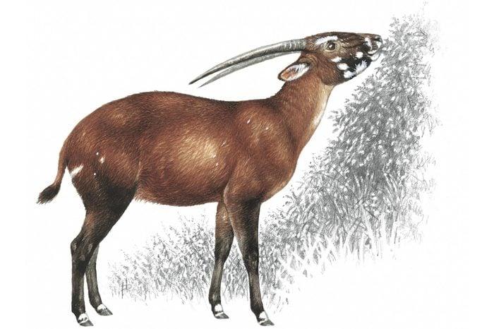 A Vu Quang Ox