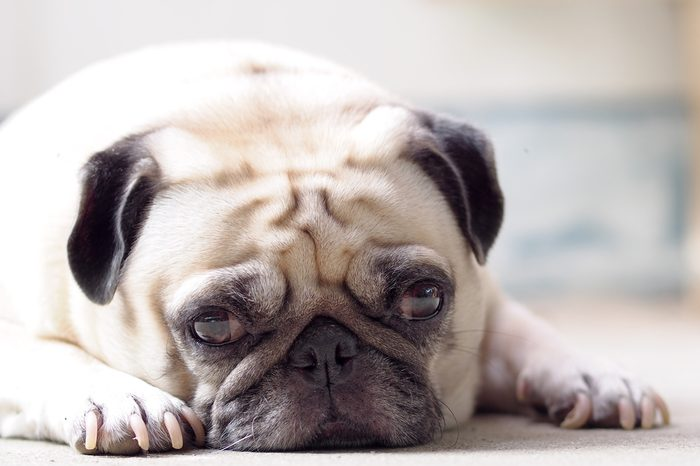 lovely lonely white fat cute pug dog laying on the concrete garage floor making sadly face with home outdoor surrounding bokeh background under morning sunlight