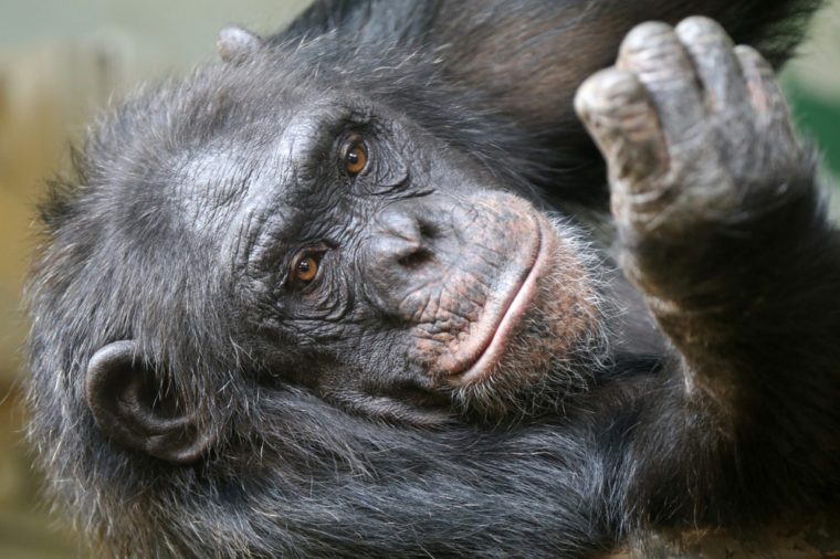 Chimpanzee female