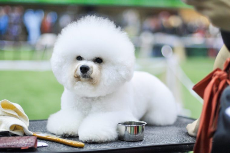 snow-white fluffy dog, Bichon Frise