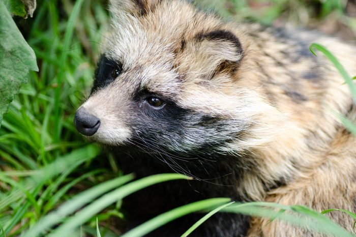Raccoon dog(tanuki) sitting in the grass.