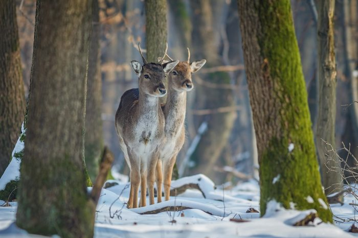 Fallow Deer (Dama dama) in the nature habitat. Young deer in winter forest. Animals in the forest.